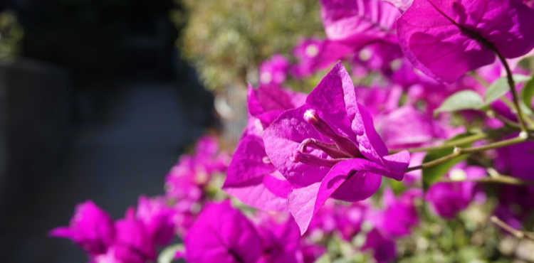 Bouganville Flowering