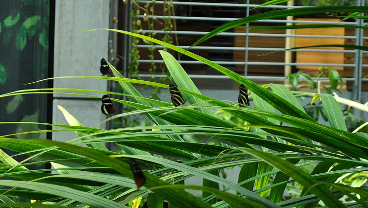 Butterflies at the California Academy of Sciences