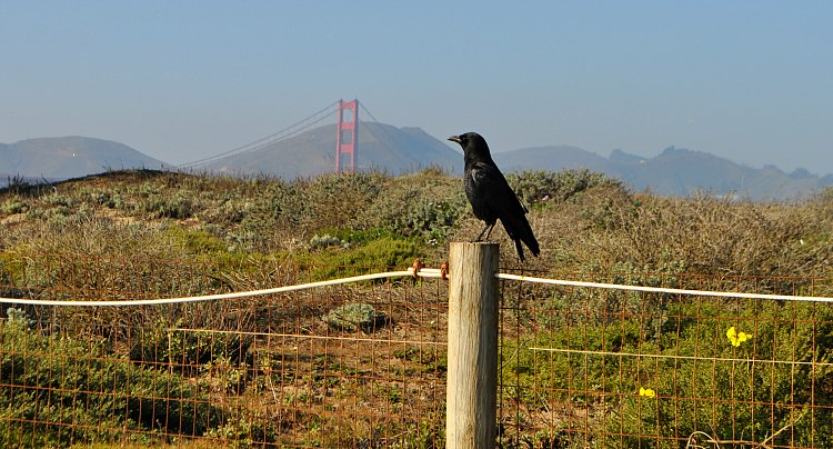Crow on the fence along Crissy Field
