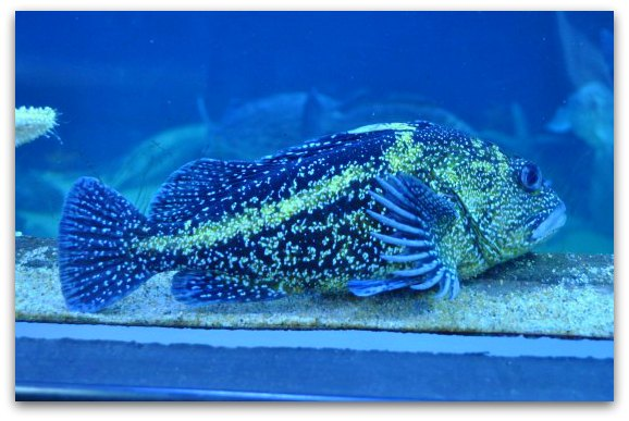 fish at sf bay aquarium
