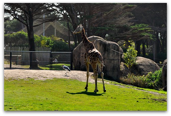 San Francisco Zoo Giraffe