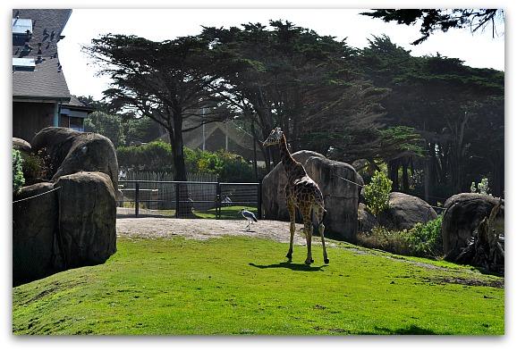Giraffe at the SF Zoo