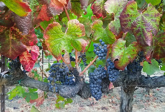 Grapes in Napa on Vine