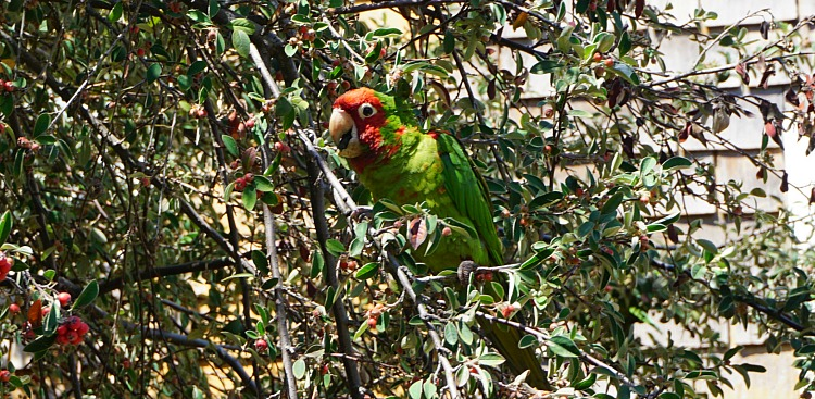 Green and Red Parrott Eating