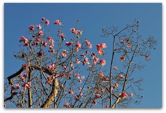 magnolias sf