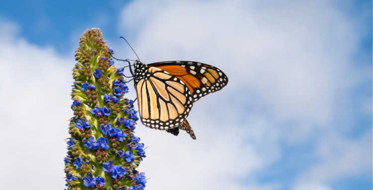 Monarch Butterfly at Pacific Grove