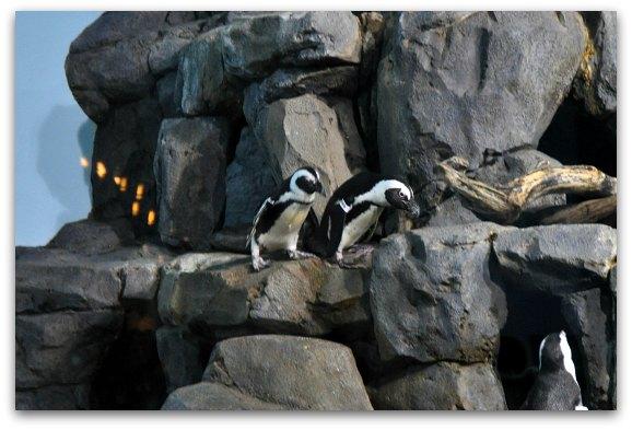 penguins monterey aquarium
