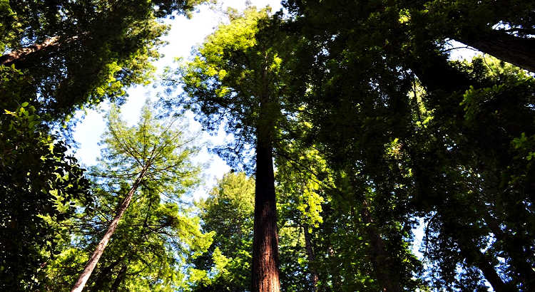 Muir Woods in Marin County