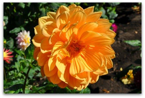 orange dahlia garden sf