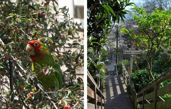 Parrots of Telegraph Hill