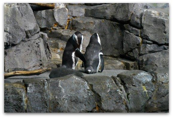 penguins monterey