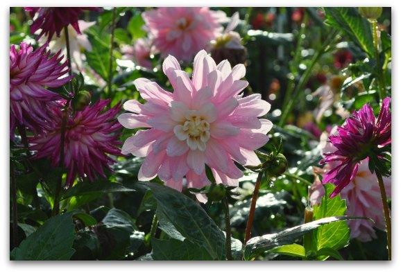 pink dahlia garden sf