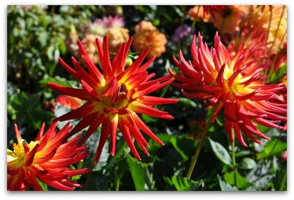 dahlia garden sf