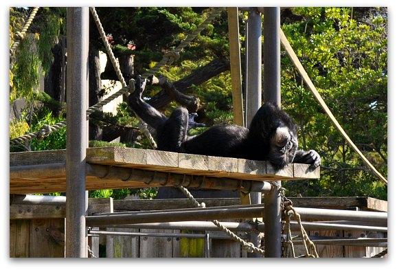 chimpanzee at san francisco zoo