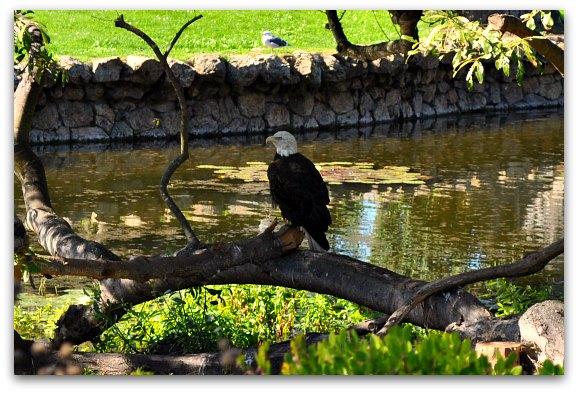 bald eagle sf zoo