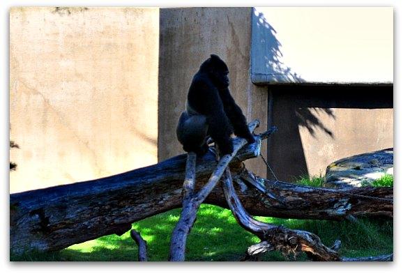 san francisco zoo gorillas