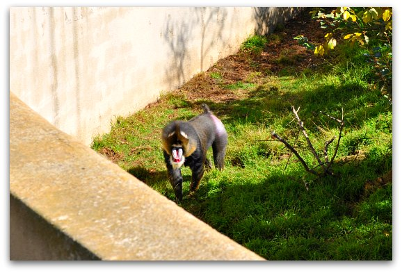 Manadrill SF Zoo