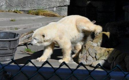 polar bear sf zoo