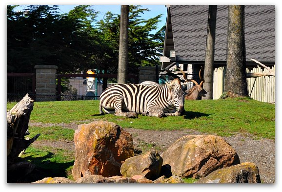 zebras san francisco zoo