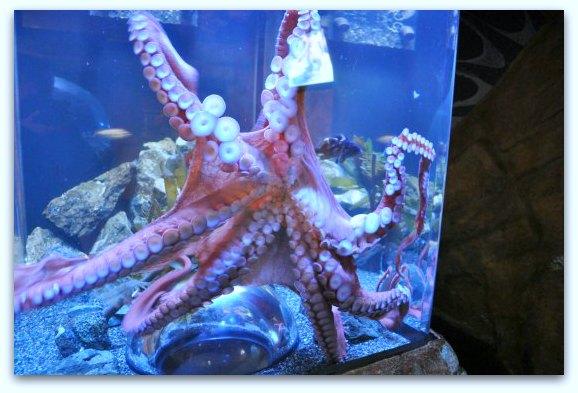 sf bay aquarium octopus