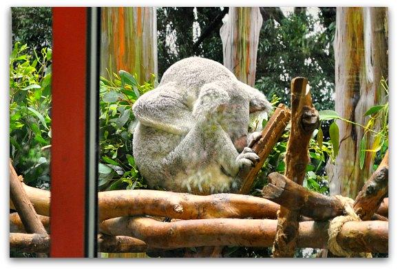 koala at sf zoo