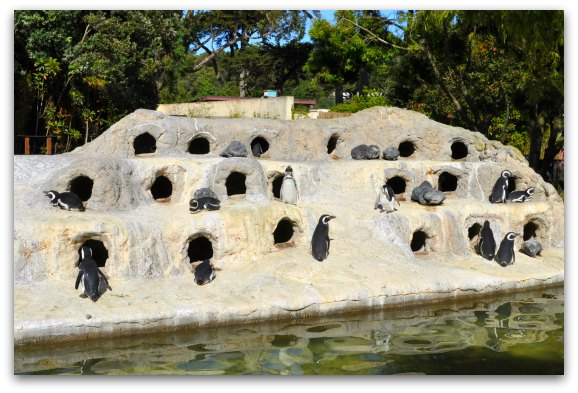 penguins at the SF Zoo