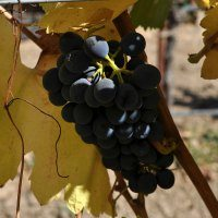 Sonoma Grapes