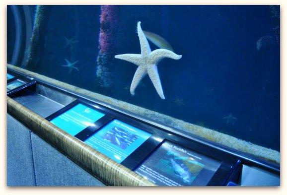 star fish at sf bay aquarium