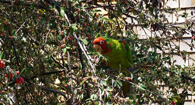 Unusual Parrots in San Francisco