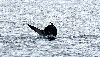 Whale Watching SF