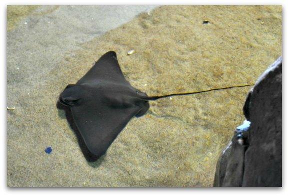 baby sting ray sf aquarium