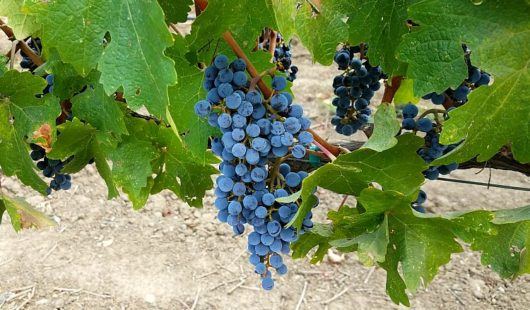 Carmel Valley Grapes on the Vine