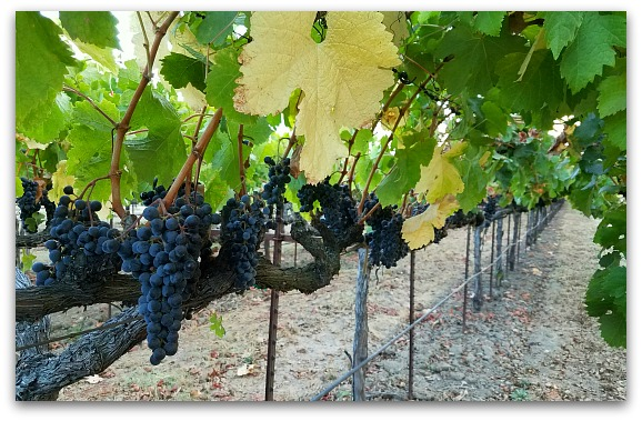 Lodi Grapes