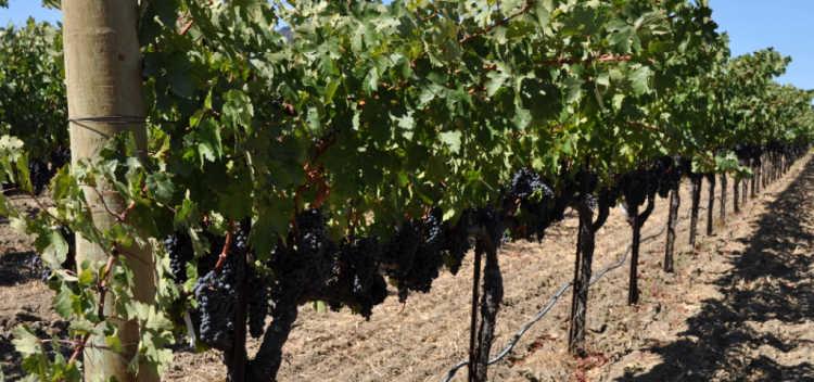 Merlot on the vines in Napa