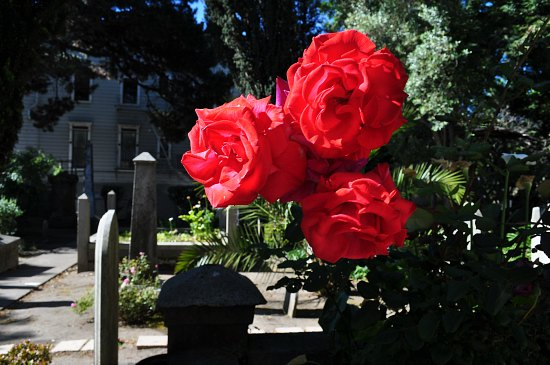 mission dolores roses