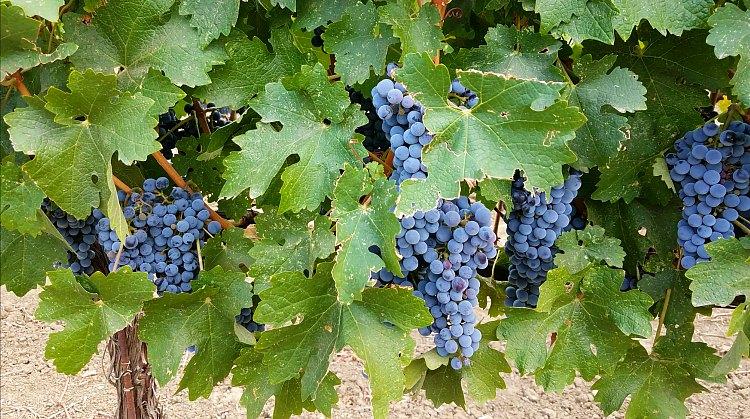 Ripe grapes on the vine in Napa
