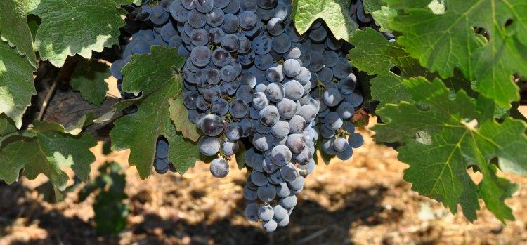 Napa Travel with red grapes ripening on the vine.