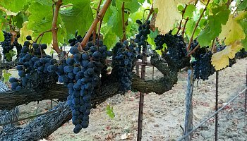 Ripe grapes on the vine in Napa Valley