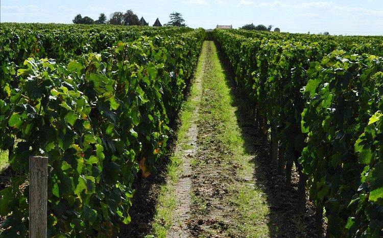 Petrus Vineyards in Bordeaux
