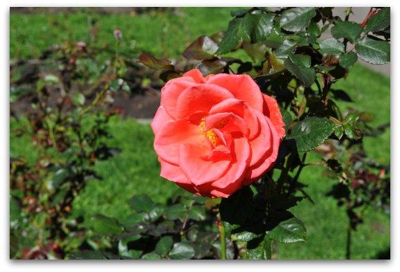 rose garden golden gate park