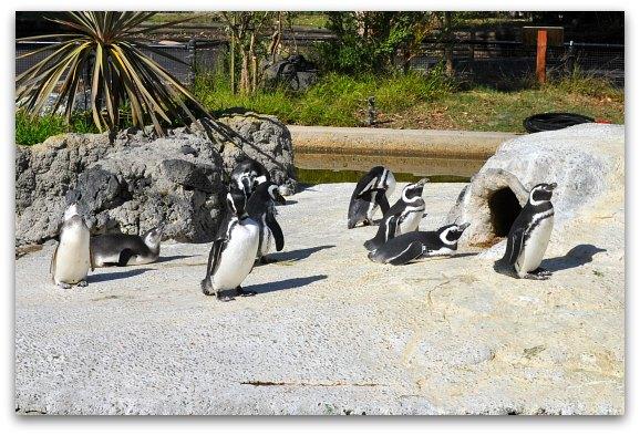 Penguins SF zoo