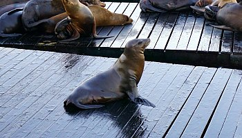 Sealions Arrival in SF
