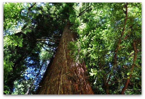tall redwood sf