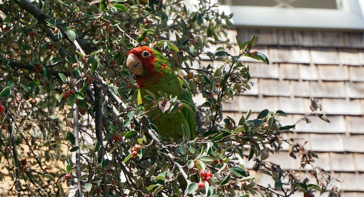 Telegraph Hill San Francisco: A red and green parrot in a tree