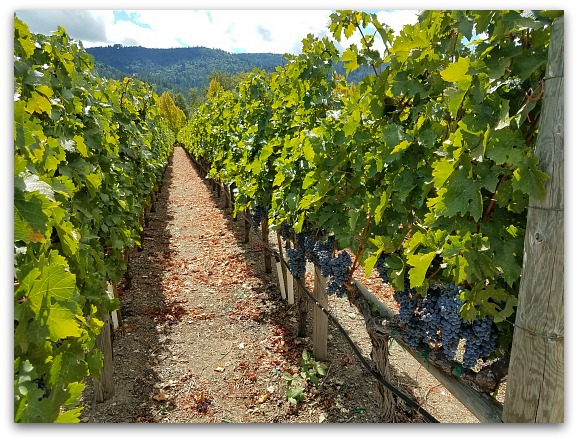 Vineyard in California Wine Country