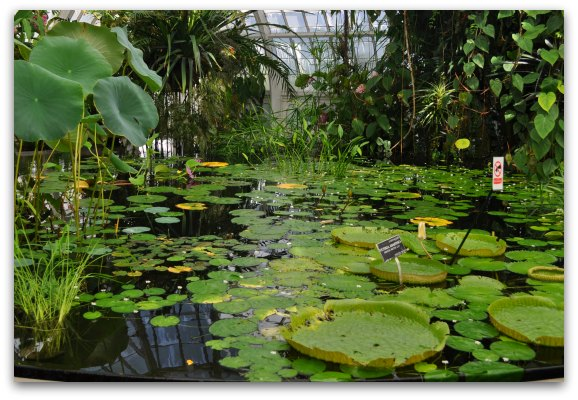 lily pads conservatory of flowers