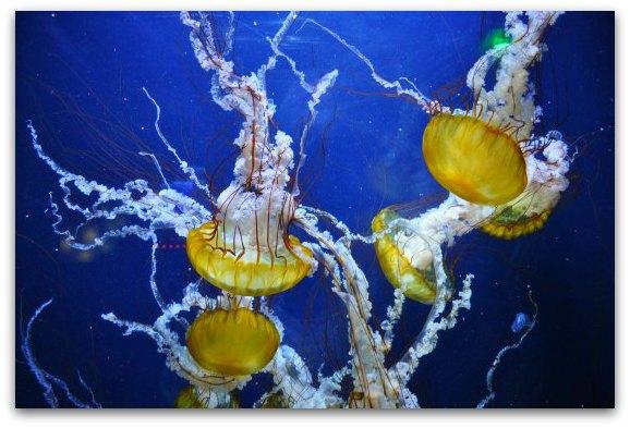 yellow jellyfish sf bay aquarium