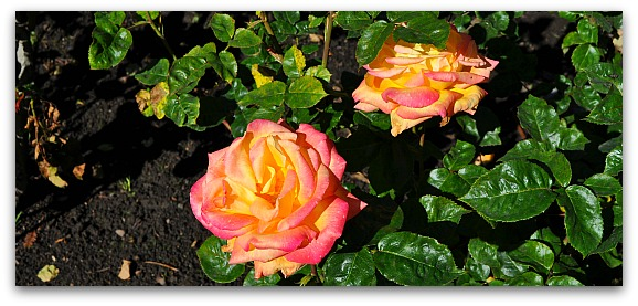Yellow & Pink Roses in SF's Golden Gate Park