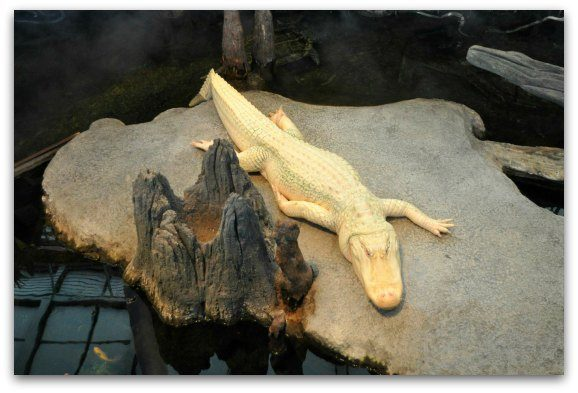 The rare white alligator, Claude, at the California Academy of Sciences.