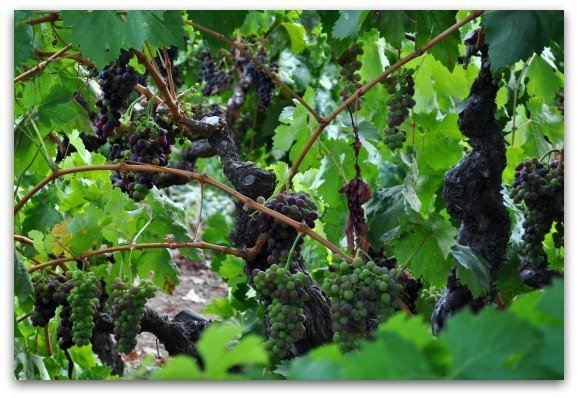 Grapes ripening on the vine in Sonoma County.